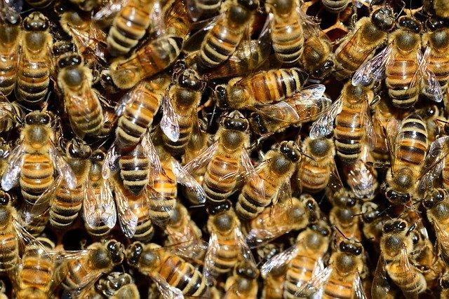 abeilles de la race Buckfast ou frère Adam