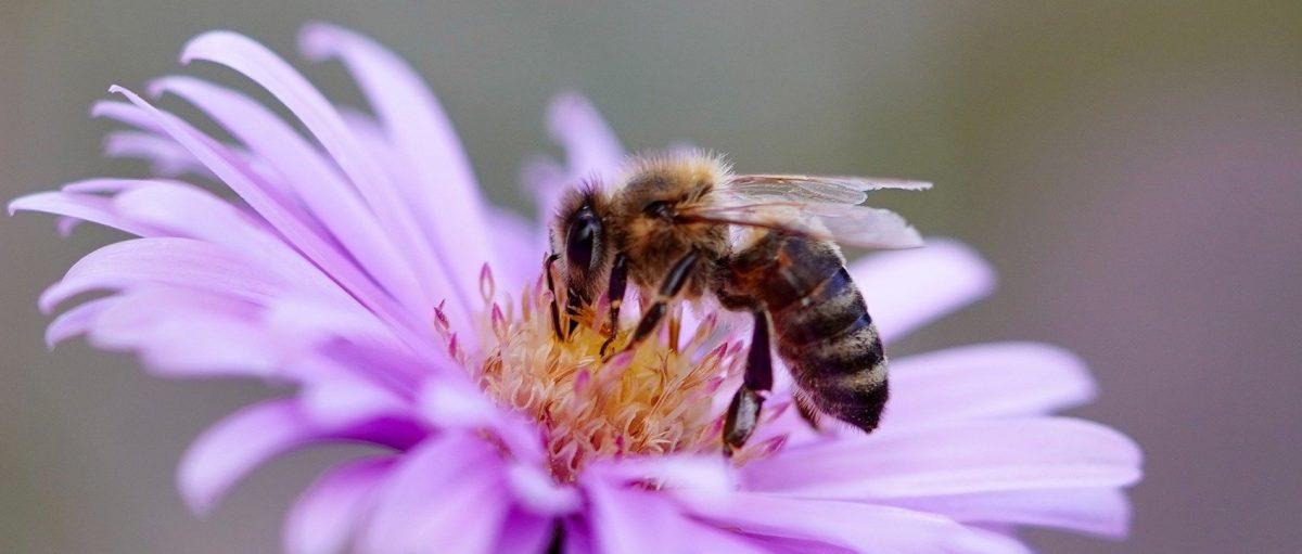 abeille-butineuse