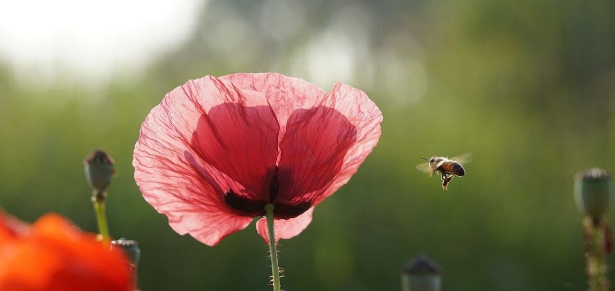 Abeille et fleur de coquelicot