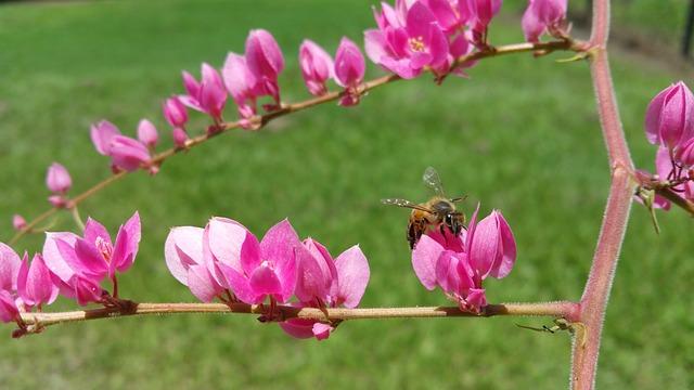 abeille africanisée