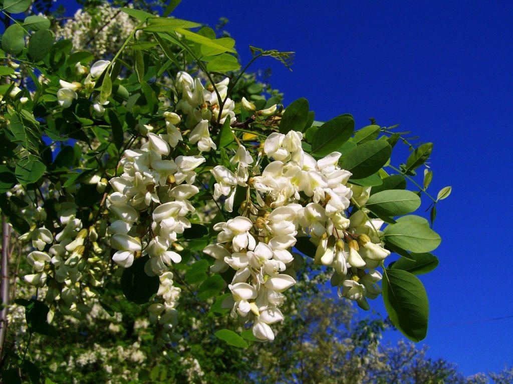 floraison acacia
